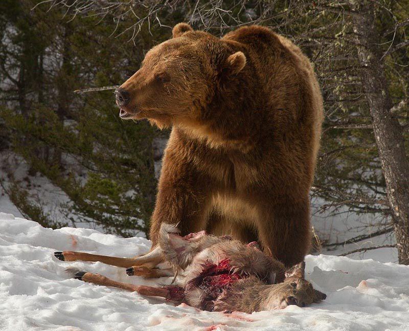 棕熊咬翻一群狼 抢走其口中猎物