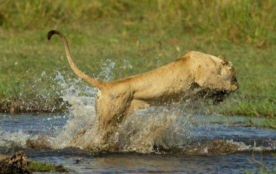母狮为护宝宝与鳄鱼殊死搏斗:犯我宝宝者,虽远必诛