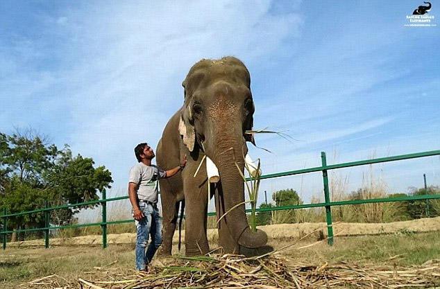 印度一大象遭折磨囚禁长达50年 伤痕累累终获救