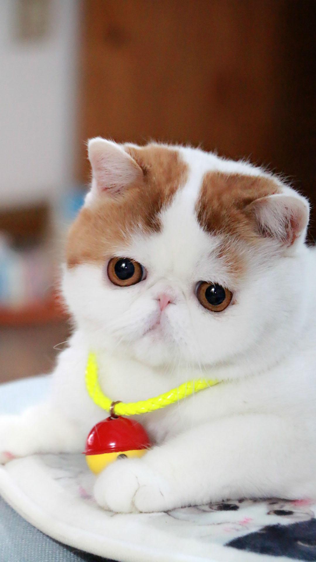 可爱超萌大肥猫图片iphone7锁屏壁纸,由mm4000图片大全精心为您收集整理。这猫咪主人是给它吃得有多好,看起来肥肥的很有肉感哟,简直太可爱了!!更多猫咪图片手机壁纸尽请关注mm4000图片大全!!