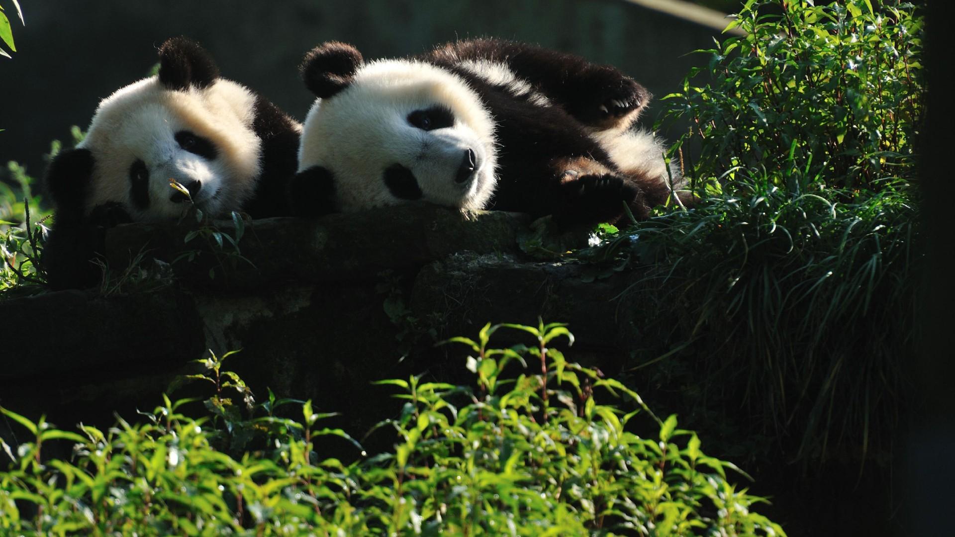 可爱大熊猫高清桌面壁纸(1/10)