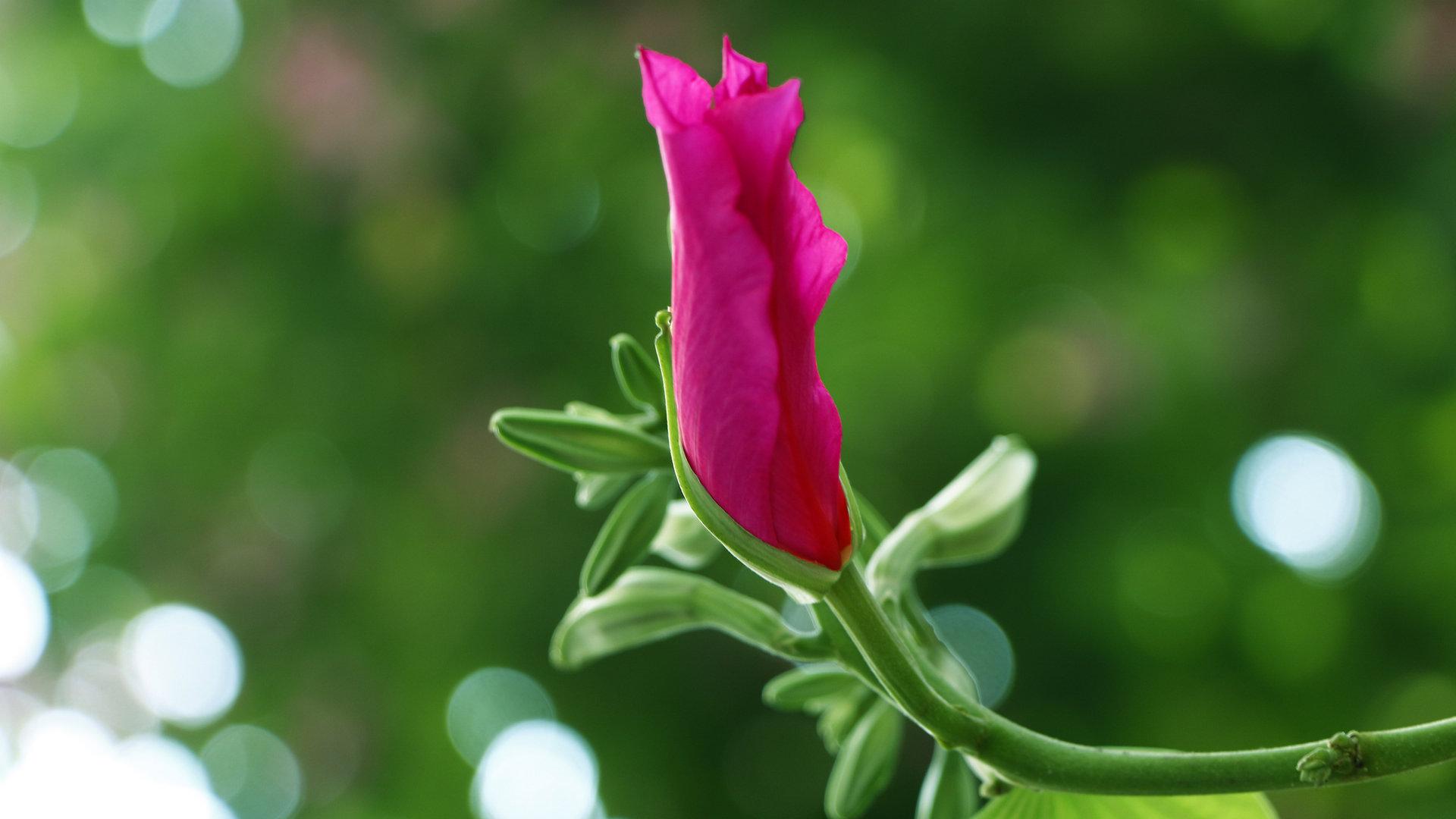 火红紫荆花图片壁纸