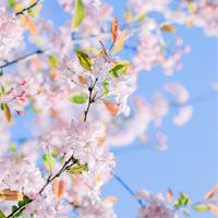 樱花手机壁纸图片大全