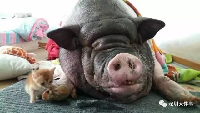 人猪同睡8年 结果姑娘.......